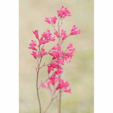 Poetico Pink Wild Columbine
