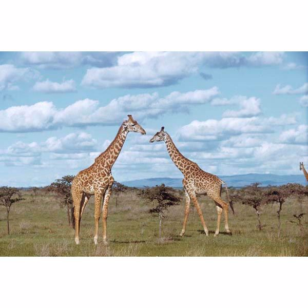 Giraffes Wall Mural