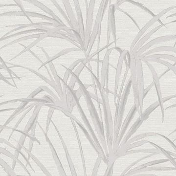 Picture of Song White  Fountain Palm