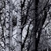 Picture of Birch Forest Premium Window Film