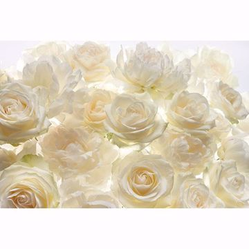 Picture of Ivory Rose Wall Mural