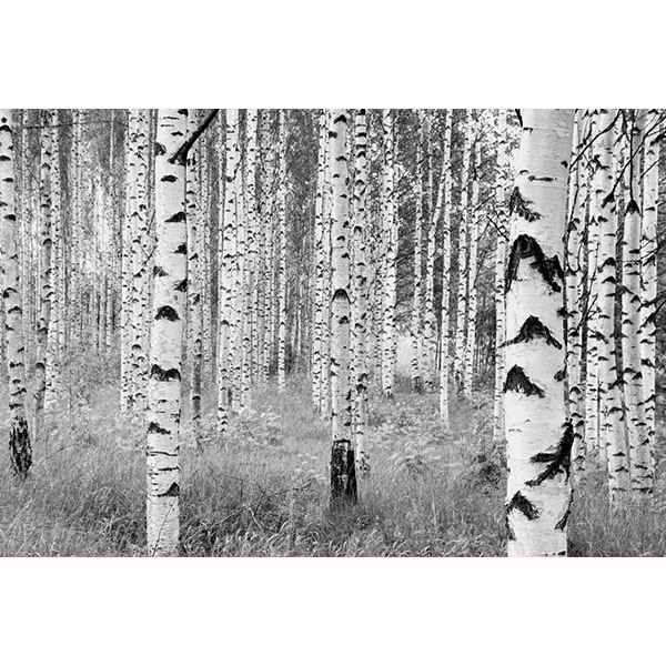 Picture of Birch Forest Wall Mural