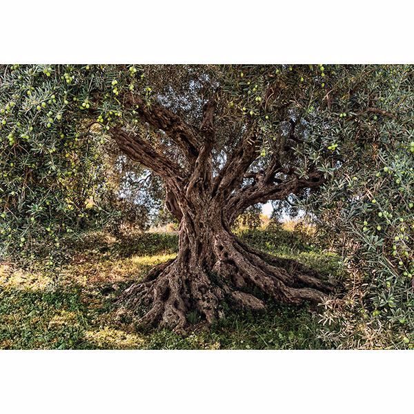 Picture of Komar Olive Tree Wall Mural