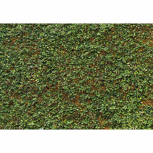 Picture of Ivy Wall Wall Mural