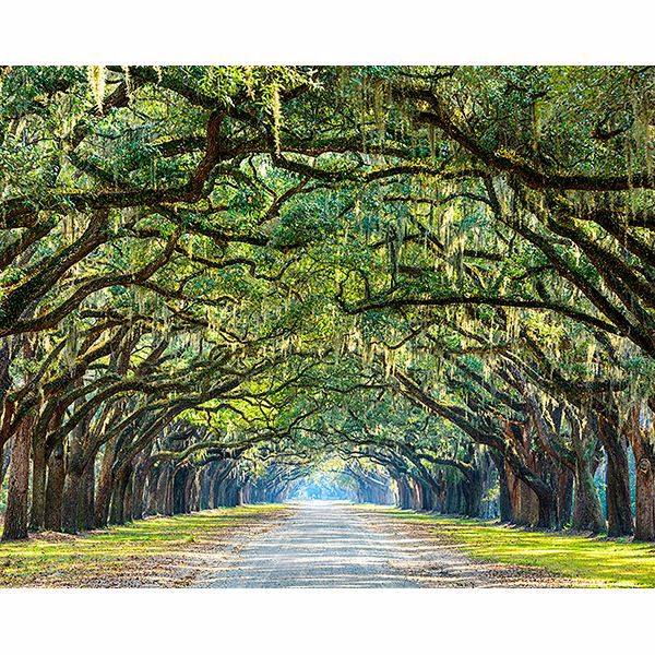 Picture of Ye Old Trees Wall Mural