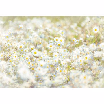 Picture of Daisies Wall Mural