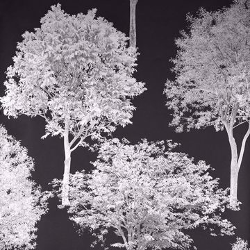 Picture of Tree Tops Black Photographic Wallpaper