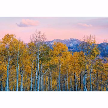 Picture of Birch Trees in Fall Non Woven Wall Mural