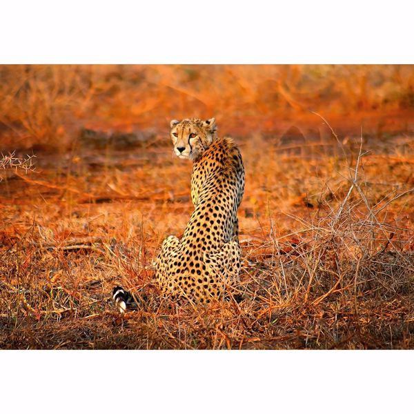 Picture of Leopard Safari Non Woven Wall Mural