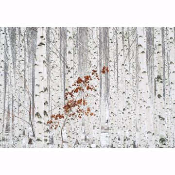 Picture of White Birch Forest Non Woven Wall Mural