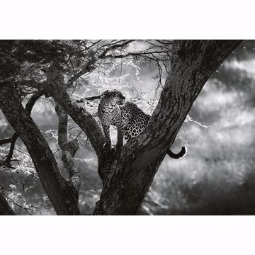 Picture of Leopard On Tree Non Woven Wall Mural