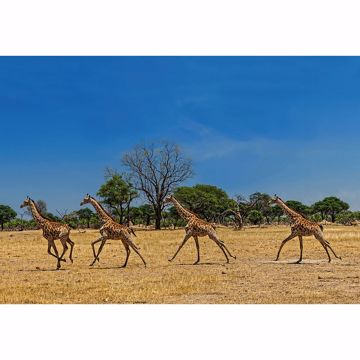 Picture of Running Giraffes Wall Mural
