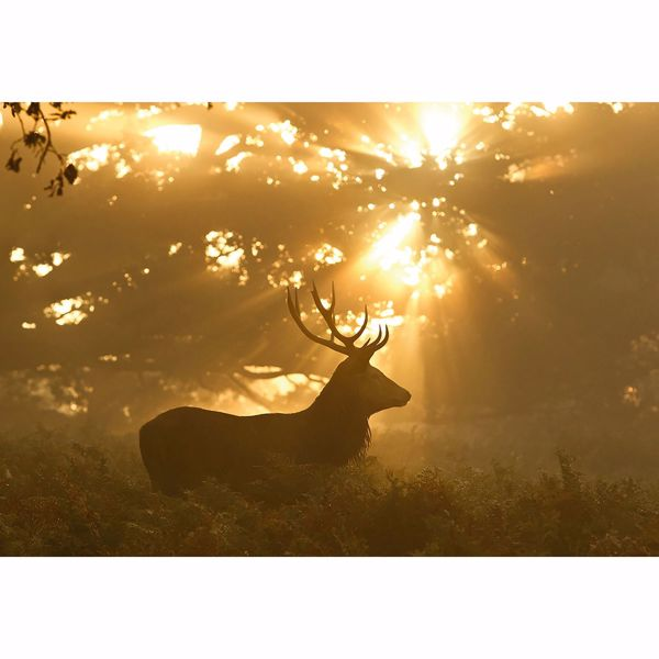Picture of Sunset Stag Wall Mural