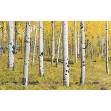 Picture of Birch Tree Forest Wall Mural