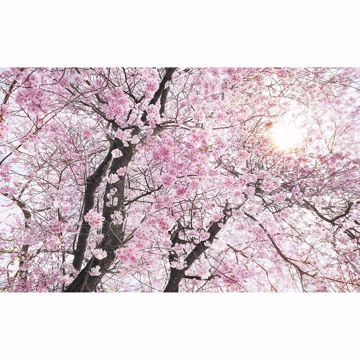 Picture of Cherry Blossom Wall Mural