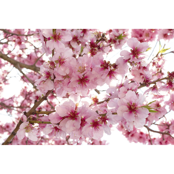 Picture of Apple Blossom Wall Mural