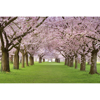 Picture of Cherry Trees Wall Mural